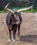Watusi cattle 2 Royalty Free Stock Photos