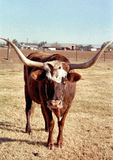 Watusi Cow Poses in a Pasture. A lone Watusi Cow poses in the sunshine, showing off his gigantic horns Royalty Free Stock Image