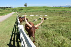 Watusi cow Stock Photography
