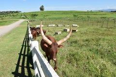 Watusi cow Stock Photography