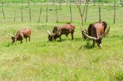 Watusi Cows in farm Stock Photo