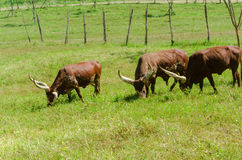 Watusi Cows in farm Stock Image