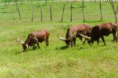 Watusi Cows in farm Stock Image