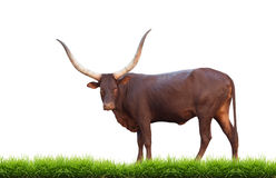 Watusi Royalty Free Stock Photography