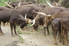 Watusi herd. Family Watusi in nature reserve, animals Royalty Free Stock Photography
