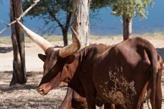 Watusi in herd, in the mountains, next to rocks and in a natural background. Plants around animals, hot habitat. Watusi related to