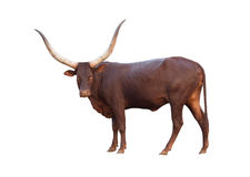 Watusi Stock Photos