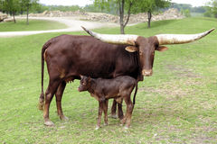 Watusi-Kuh mit ihrem Kalb Lizenzfreies Stockfoto