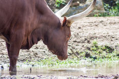 Watusi longhorn. Drinking from a puddle, head shot Stock Photography