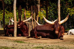 Watusi in Planckendael zoo Stock Images
