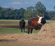 Watusi Steers Royalty Free Stock Photo