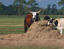 Watusi Steers With Holstein Stock Photos