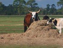 Watusi Steers With Holstein Stock Photos
