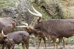 Watusi wild Stock Image