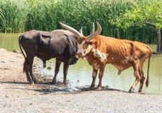 Watusistier in Safari World wordt gefotografeerd die Royalty-vrije Stock Foto