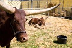 Watussi buffalo Stock Images