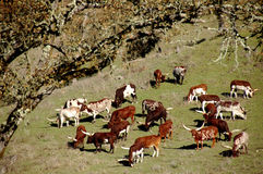 Watussi Cattle Royalty Free Stock Photography