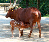 Watussi ox with calf Royalty Free Stock Image