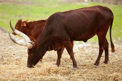 африканское коричневое watussi watusi пар быка Стоковые Изображения RF