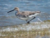 Watvögel, die in die Wellen gehen Lizenzfreies Stockfoto