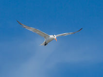 Watvögel im Flug Lizenzfreie Stockfotos