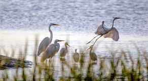 Watvögel-Reiher und Reiher, Hilton Head Island stockfoto