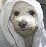 Wauwi. Close-up of dog with towel (Bichon Frise Stock Image