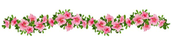 Wave arrangement of petunia flowers. And leaves isolated on white. Top view. Flat lay Stock Image