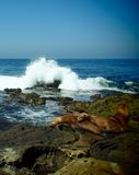 Wave che fracassa dietro i leoni marini fotografia stock libera da diritti