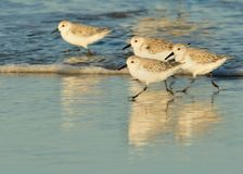 Wave Runners. Least Sandpipers running with the waves Royalty Free Stock Photo