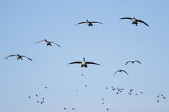 Wave After Wave of Canada Geese Flying in Blue Sky Stock Photo