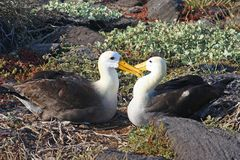 Waved Albatross. In the Galagos Islands royalty free stock photography