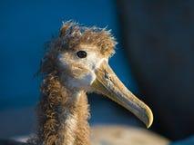 Waved Albatross. A juvenile Waved Albatross (Phoebastria irrorata Stock Photography