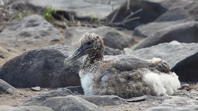 Waved Albatross Chick, Phoebastria irrorata, from the Galapagos stock video