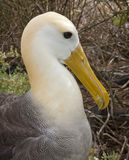 Waved Albatross Close-up Profile Stock Photography