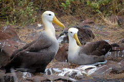 Waved Albatross couple,Galapagos. Photo taken on Seymour Island,Galapagos Royalty Free Stock Photography