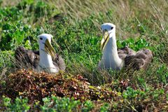 Waved Albatross courtship display Stock Photos