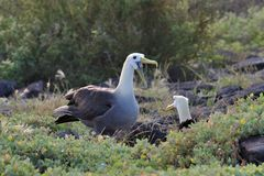 Waved Albatross courtship display Royalty Free Stock Photo