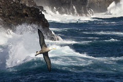 Waved Albatross - Espanola - Galapagos Islands. The Waved Albatross (Phoebastria irrorata) also known as the Galapagos Albatross, is the only member of the Stock Photos