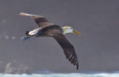 Waved Albatross is Flight Stock Photos