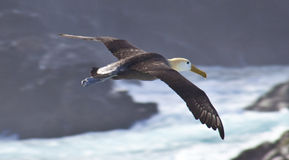 Waved Albatross in Flight Royalty Free Stock Image