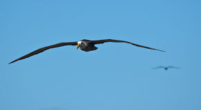 Waved albatross in flight at Española, Galapagos Royalty Free Stock Image