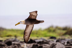 A waved Albatross flying in the Galapagos Stock Image