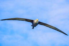 Waved albatross flying in Galapagos. Waved albatross in full wing spread flying above Espanola island in Suarez Point royalty free stock photography