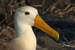 Waved albatross, Galapagos Islands Stock Photography