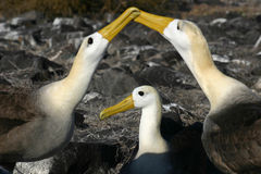 Waved Albatross (Phoebastria irrorata) Royalty Free Stock Image