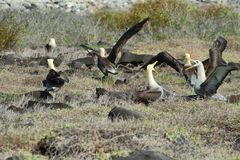 Waved albatross (Phoebastria irrorata) Royalty Free Stock Photos