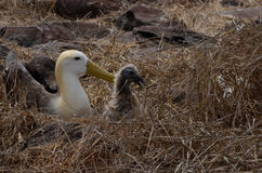 Waved Albatross (Phoebastria irrorata), Galapagos Islands. Waved Albatrosses or Phoebastria irrorata, on Galapagos Islands Royalty Free Stock Photography