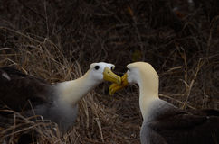 Waved Albatross (Phoebastria irrorata), Galapagos Islands Stock Images