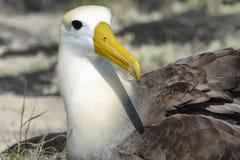 Waved albatross (Phoebastria irrorata) Stock Image